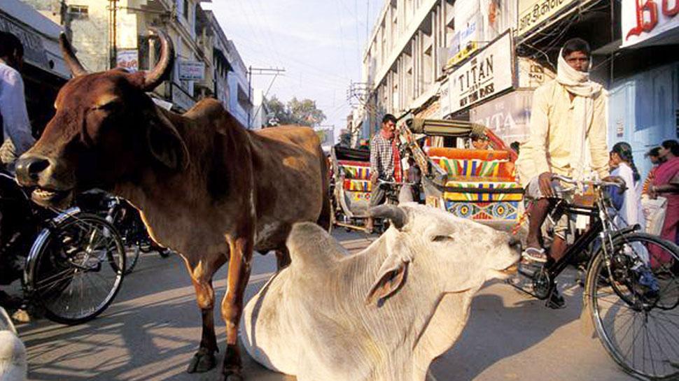 जयपुर में छाया आवारा पशुओं का आतंक, हादसे में हुई 2 युवकों की मौत