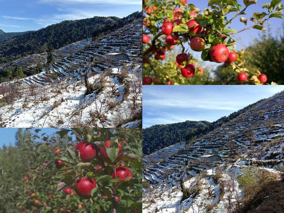 बर्फबारी से बढ़ तो गई ठंड,  लेकिन सेब किसानों के चेहरे खिले