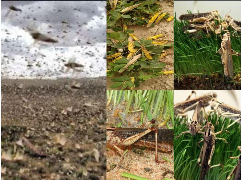 टिड्डियों के हमले से राजस्थान के किसान बेहाल
