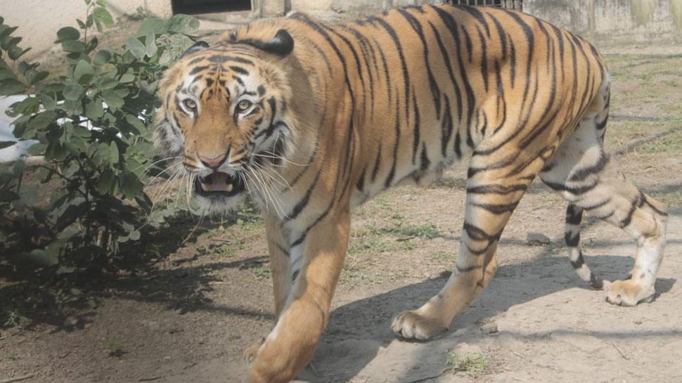 नागपुर का सुल्तान बाघ पहुंचा मुंबई, ये है कारण