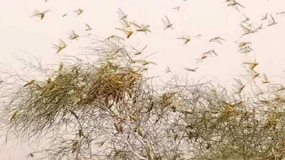 जोधपुर में टिड्डी नियंत्रण स्प्रे के बाद भी हो रहा खेत खलिहानों को नुकसान