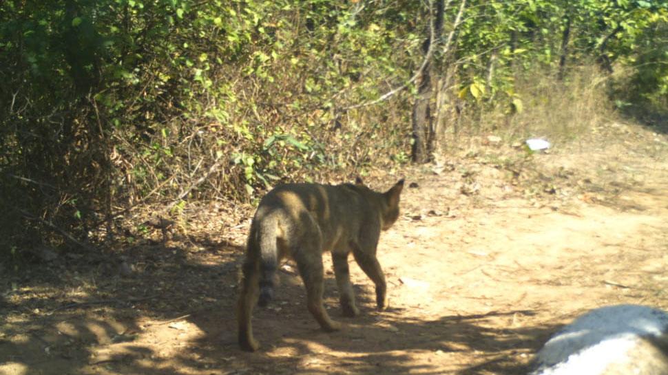 MP: जबलपुर के जंगलों में दिखा ये दुर्लभ जानवर, देखें तस्वीर