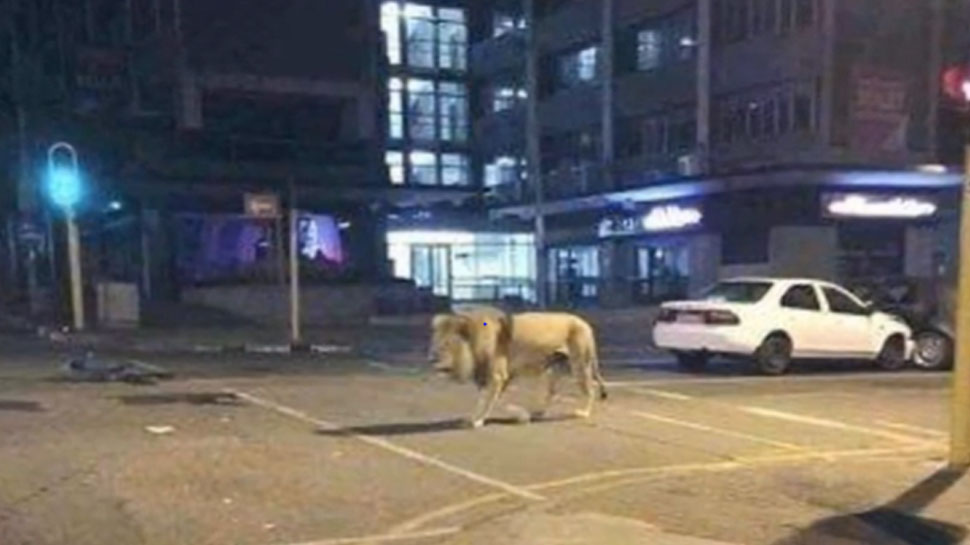 500 Lions on roads in Russia