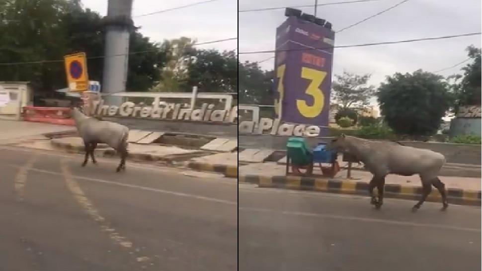 VIDEO: सड़कों से गायब हैं इंसान और लग्जरी गाड़ियां, निडर होकर घूम रहे हैं जानवर