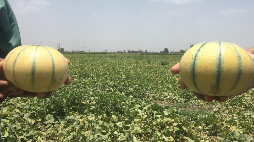 कोटा: कोरोना काल में खरबूजा बना किसानों के लिए लाभ का सौदा, भारी संख्या में हो रही बिक्री