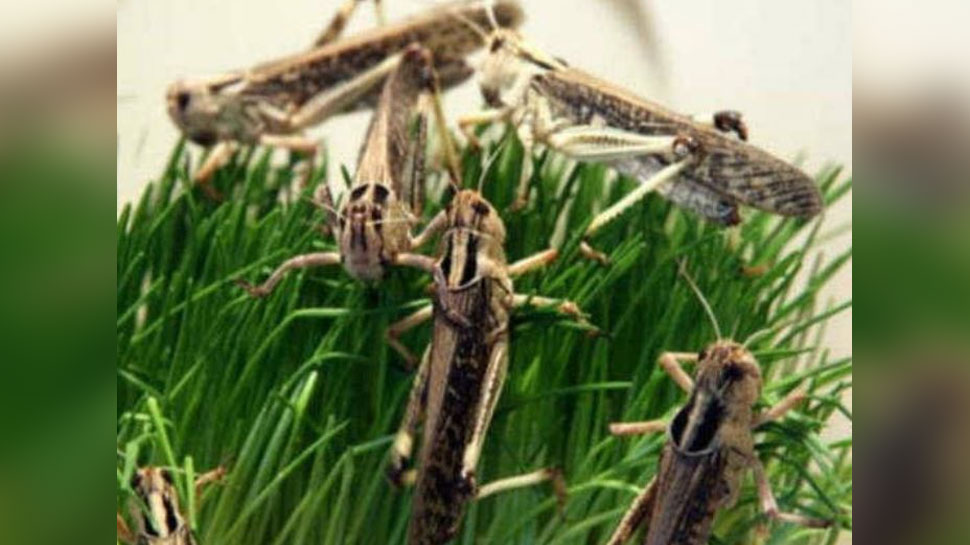 Locust party knocked in Jaipur after 28 years | 28 साल बाद ...