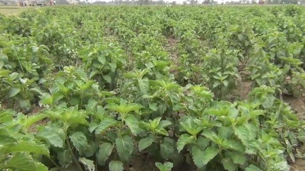 मुंगेर: मेंथा की खेती से किसानों को मिल रहा लाभ, कम खर्च में मिल रहा लाखों का मुनाफा