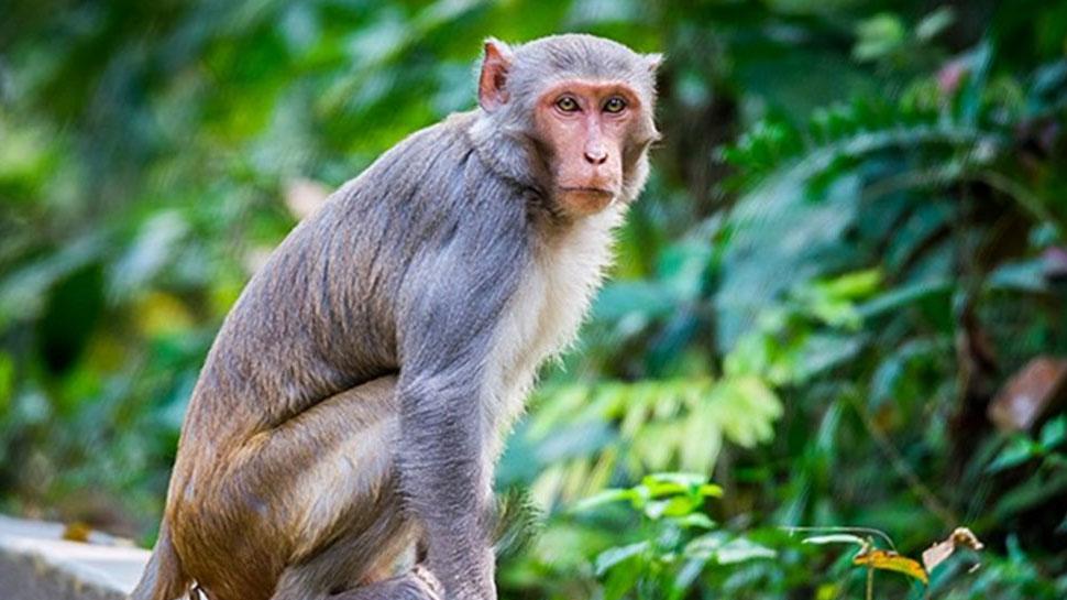 दर्दनाक! बंदर के साथ क्रूरता, गले में रस्सी बांधकर पेड़ से लटकाया, VIDEO वायरल