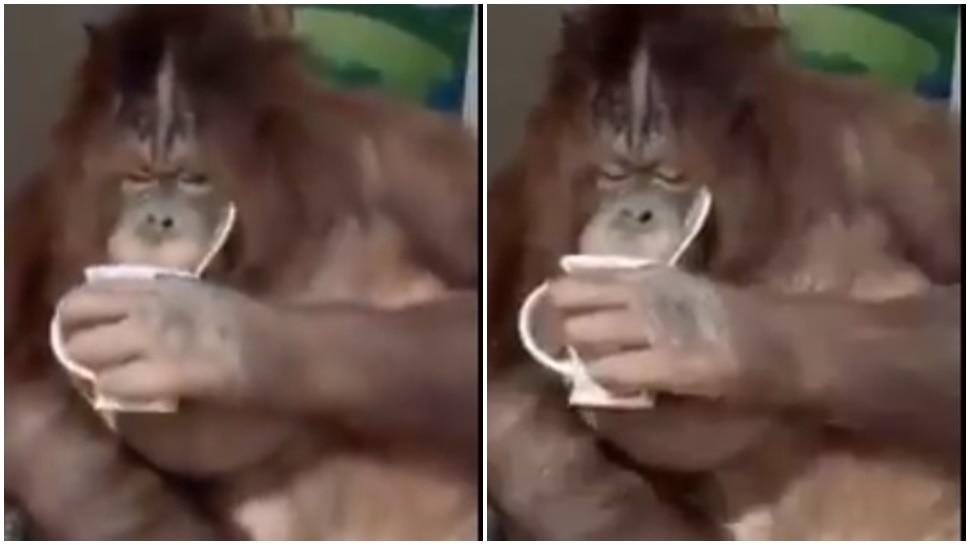 जब बंदर ने कप पकड़कर मारी कॉफी की चुस्कियां, सोशल मीडिया पर VIDEO VIRAL