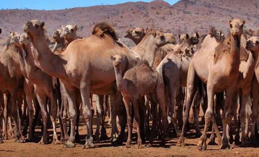 बकरीद से पहले बड़ी खबर, इस राज्य में ऊंट की कुर्बानी नहीं देने की चेतावनी जारी