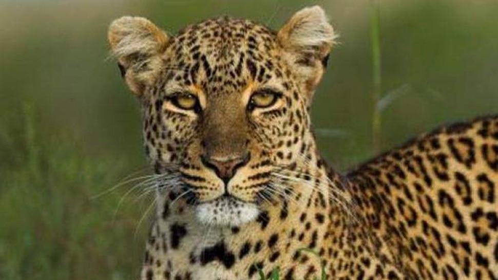 मध्य प्रदेश को मिल सकता है तेंदुआ राज्य का दर्जा, बाघ दिवस के दिन जारी हो सकते हैं आंकड़े