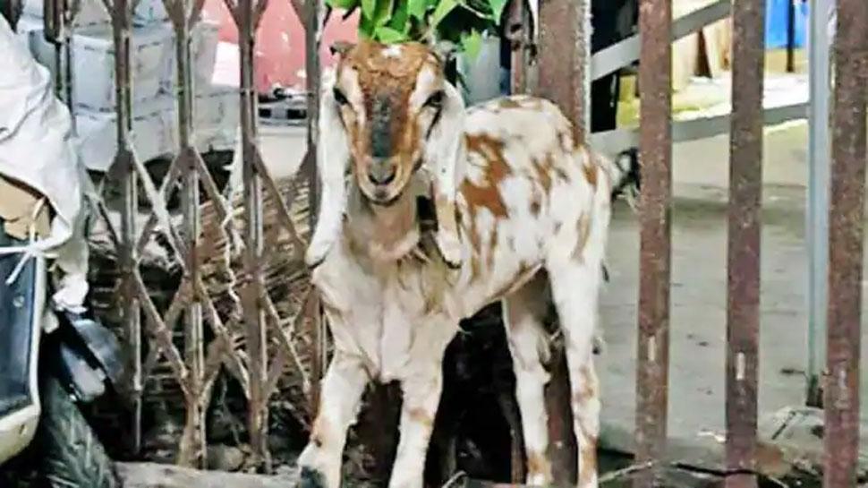 Pakistan के कार वॉशिंग सेंटरों में नहलाया जा रहा है भेड़-बकरियों को! जानें वजह