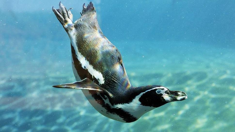 पानी में बेबी पेंगुइन की ये अठखेलियां देख लोटपोट हुए लोग, वीडियो वायरल