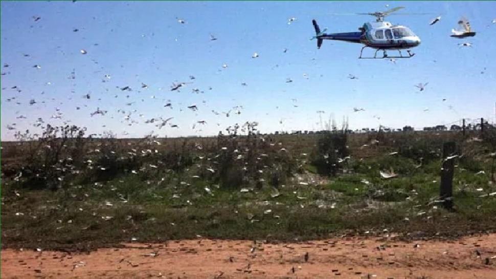 चूरू के टिड्डियों के अड्डों पर एयर स्ट्राइक, जड़ से होगा सफाया