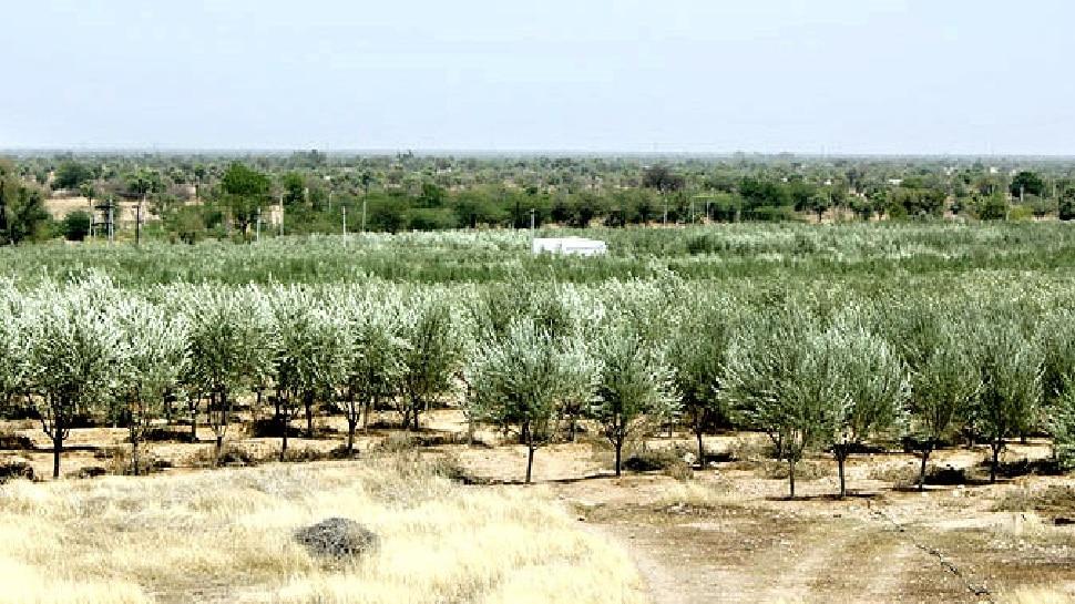 इजराइल की तकनीक से नागौर में जैतून की खेती, हो रही बम्पर पैदावर