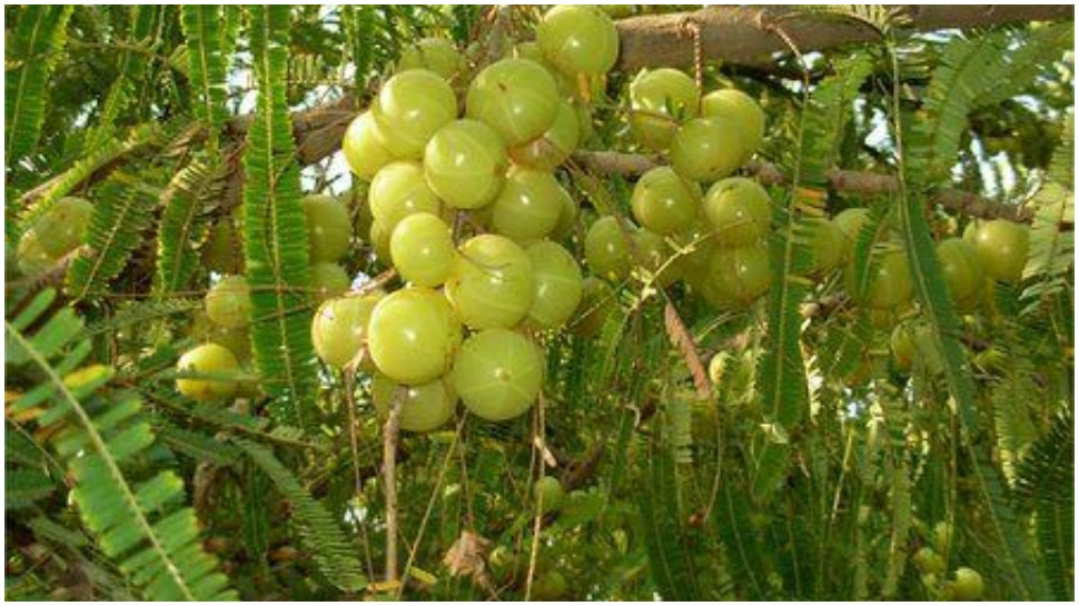 Amla Tree is Worshipped