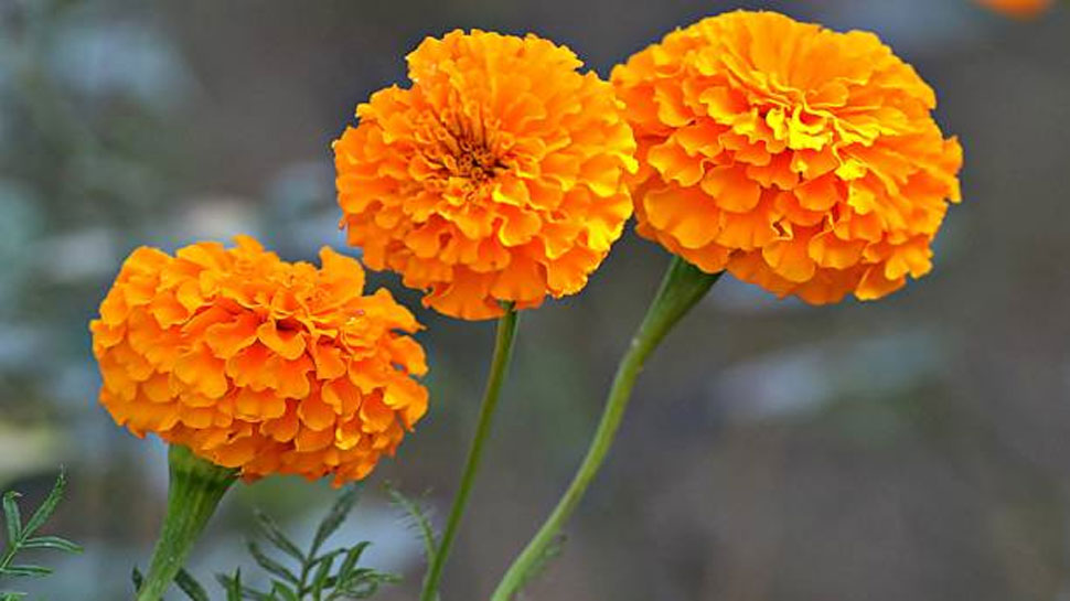 Marigold helps in curing skin infections and dermatitis