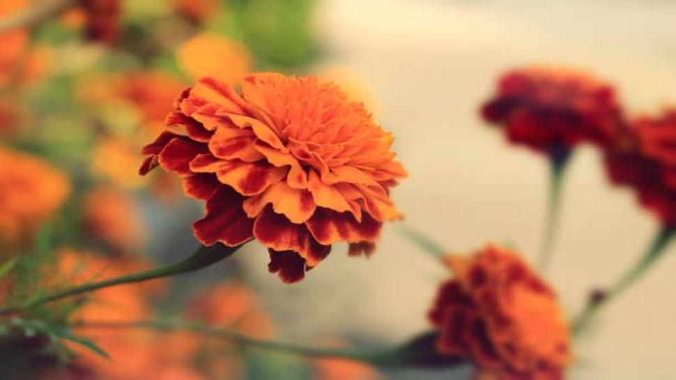 Marigold regenerates skin cells