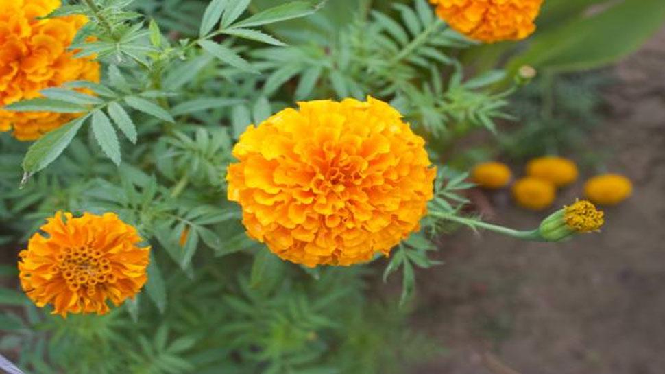 Marigold relieves stone disease