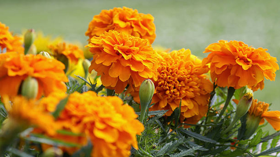 Marigold flower is beneficial in swelling of the eyes and pain