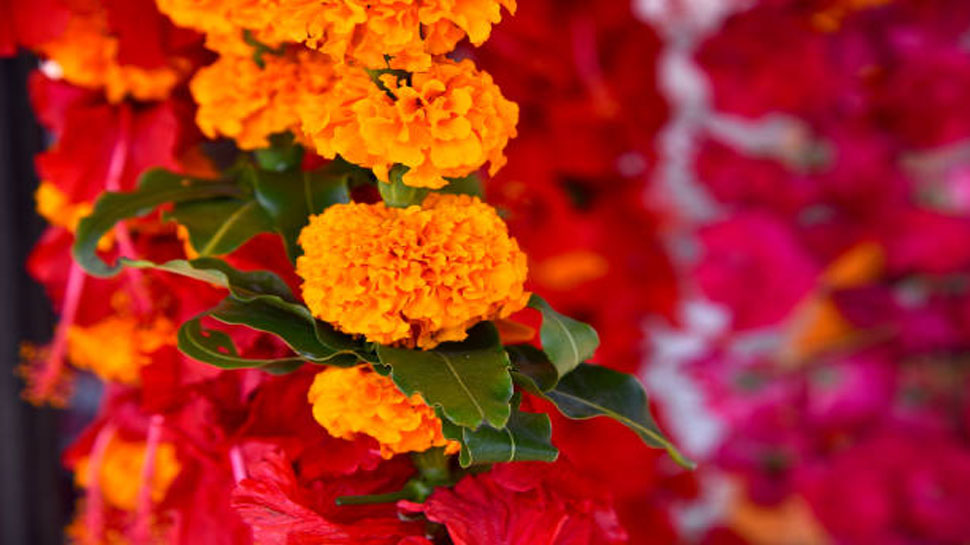 Bleeding nose can cured by Marigold flower