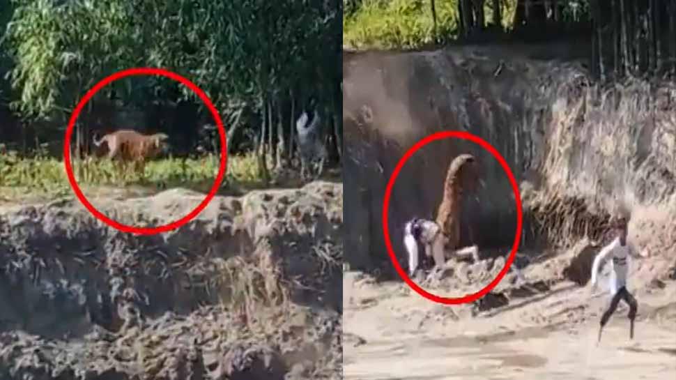 ..जब बाघ ने किया हमला, जान बचाने के लिए चिल्ला कर भागे लोग, वीडियो हुआ वायरल
