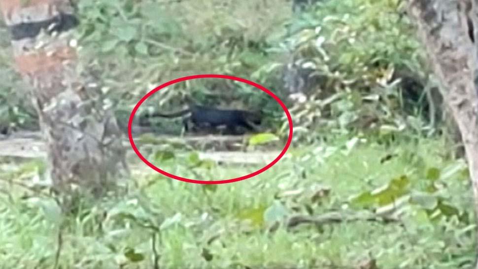 मोगली लैंड में आया बघीराः पेंच टाइगर रिजर्व में पर्यटकों को दिखा ब्लैक पैंथर