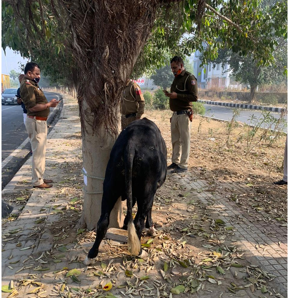 delhi Multiple number of suspected slaughtered bodies of cow cattle were found in drain near dwarka sector 23