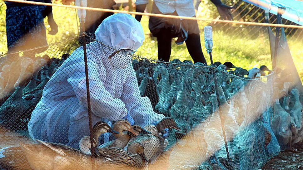 Bird Flu: अब 7 दिन तक नहीं मिलेगा चिकन, इंदौर में दुकानें बंद