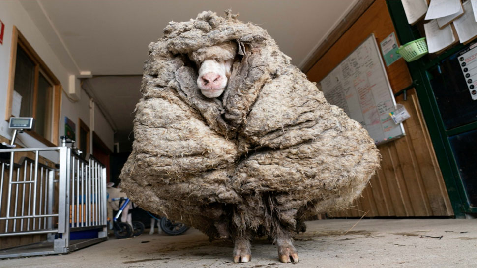 Baarack the sheep is seen before his thick wool was shorn