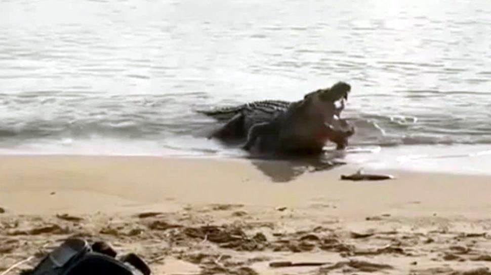 Baby shark was hunted by crocodile