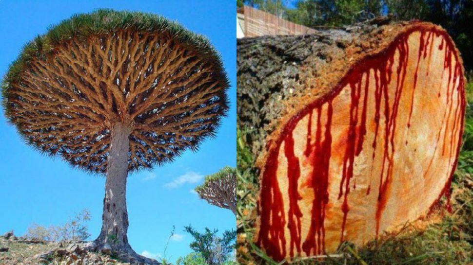 Dragon Blood Tree: दवा से लेकर दुआ का प्रतीक यमन के 'ड्रैगन ब्लड ट्री' का वजूद संकट में, एक्सपर्ट्स ने जताई चिंता