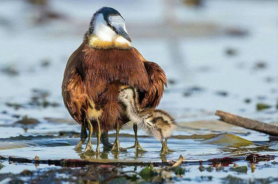 african jacana the 8-legged bird, know everything about it science news    African Jacana: OMG! क्या अपने देखा 8 पैरों वाला पक्षी? इस चिड़िया के बारे  में जानकर दंग रह जाएंगे   Hindi News,