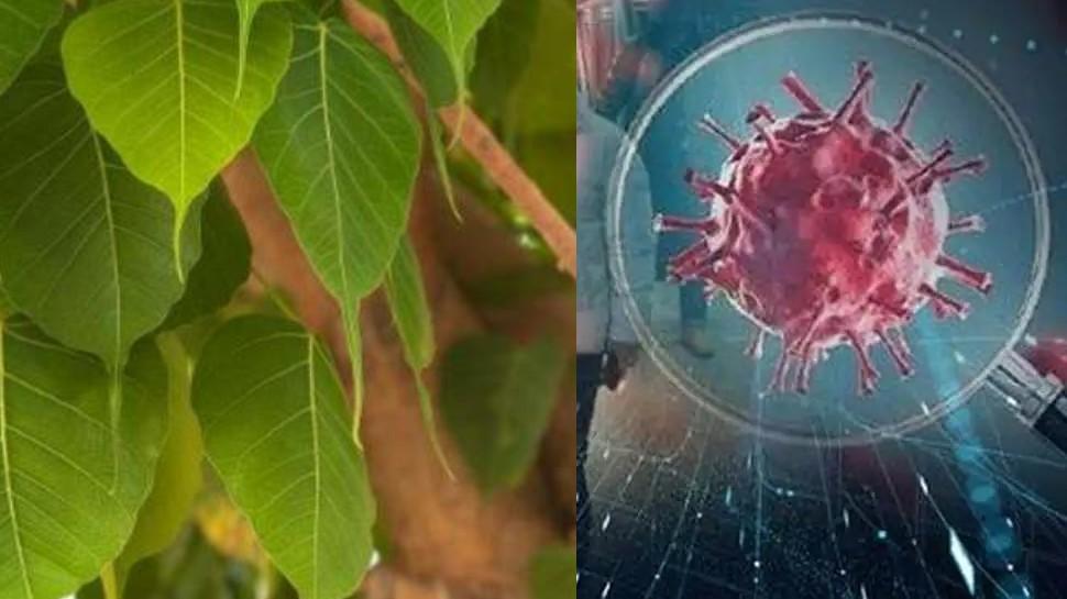 Benefits of pipal leaves pipal leaf is helpful in increasing oxygen level  Know pipal leaves Benefits in coronavirus SPUP | ऑक्सीजन लेवल को बढ़ाने में  सहायक है पीपल का पत्ता, जानें इसके