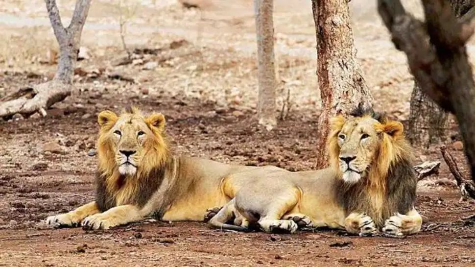 भारत में पहली बार जानवरों में मिला Coronavirus, हैदराबाद के चिड़ियाघर में 8 शेर कोरोना पॉजिटिव