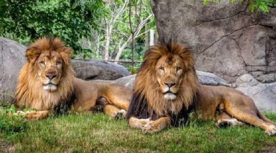 इंसानों के बाद जानवरों पर भी कोरोना का कहर, इटावा लायन सफारी में चपेट में आईं दो शेरनियां