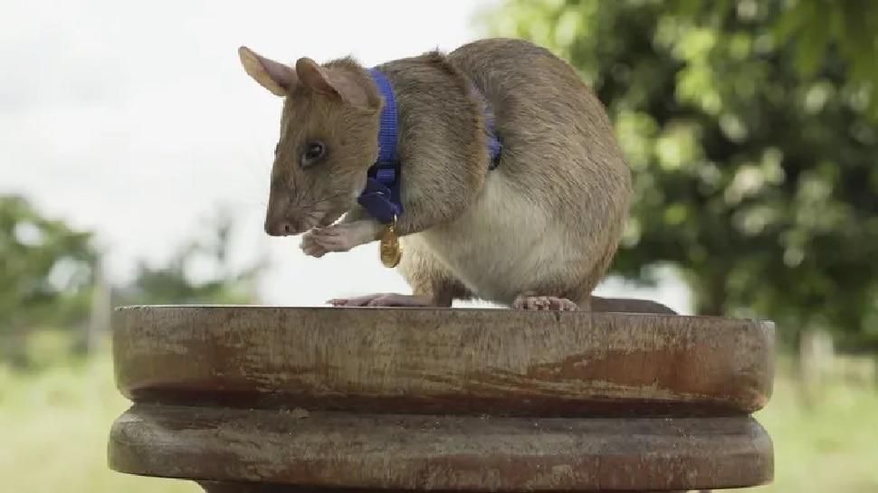 71 Land Mines का पता लगाने वाला बहादुर चूहा Magawa, बचाई हैं हजारों लोगों की जान