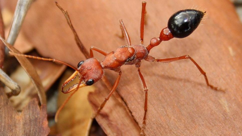 dangerous ant name bulldog