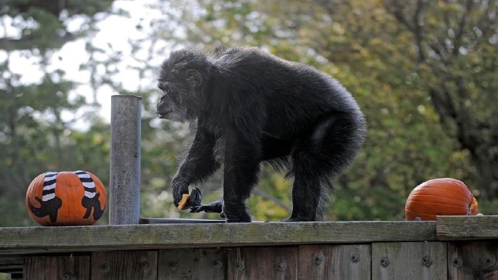 सबसे बुजुर्ग नर Chimpanzee की San Francisco जू में मौत