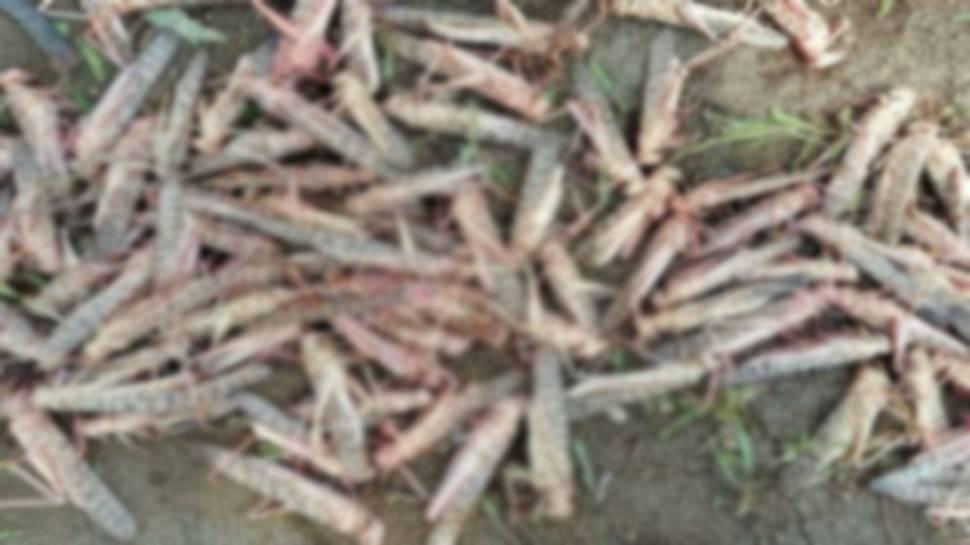 अलर्ट पर हरियाणा: टिड्डी दल दोबारा से ना दें पाए इसलिए की गई समीक्षा, तैयारियां पूरी रखने के निर्देश