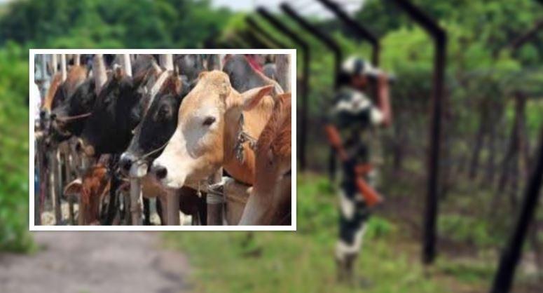 'बंगाल' में पशु तस्करी पर पूरी तरह से लगी लगाम, BSF का दावा