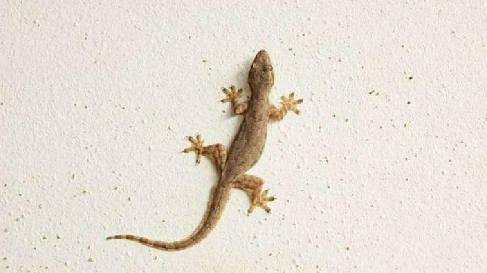 Body के इन Parts पर गिरे Lizard तो हो जाते हैं मालामाल, जानिए बाकी संकेत