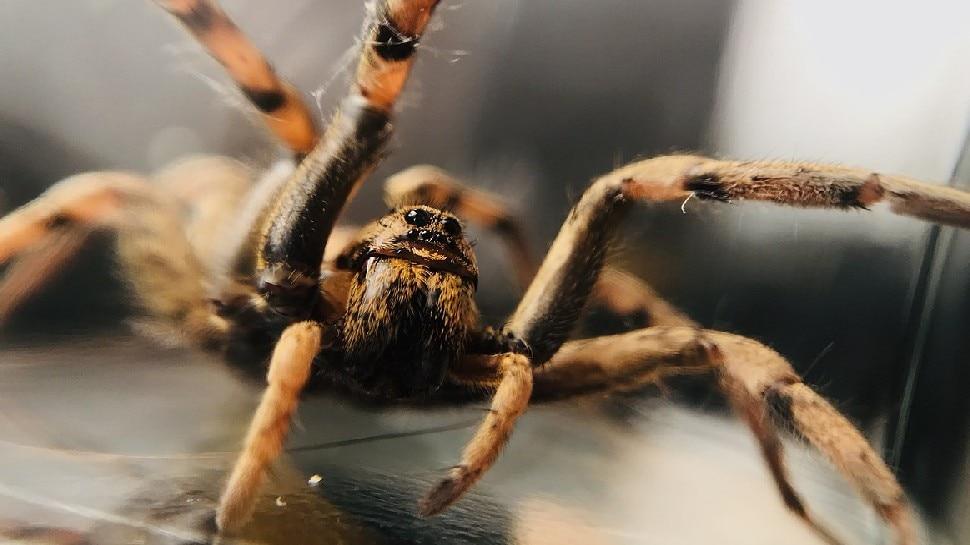 नर मकड़ी बचने के लिए अपनाती है ये तरकीब