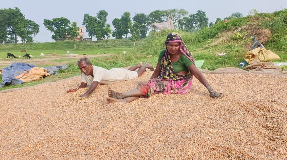कटिहार: बारिश से अन्नदाता के अरमानों पर फिरा पानी, किसान सड़े-गले अनाज से चुन रहे हैं सही दाना