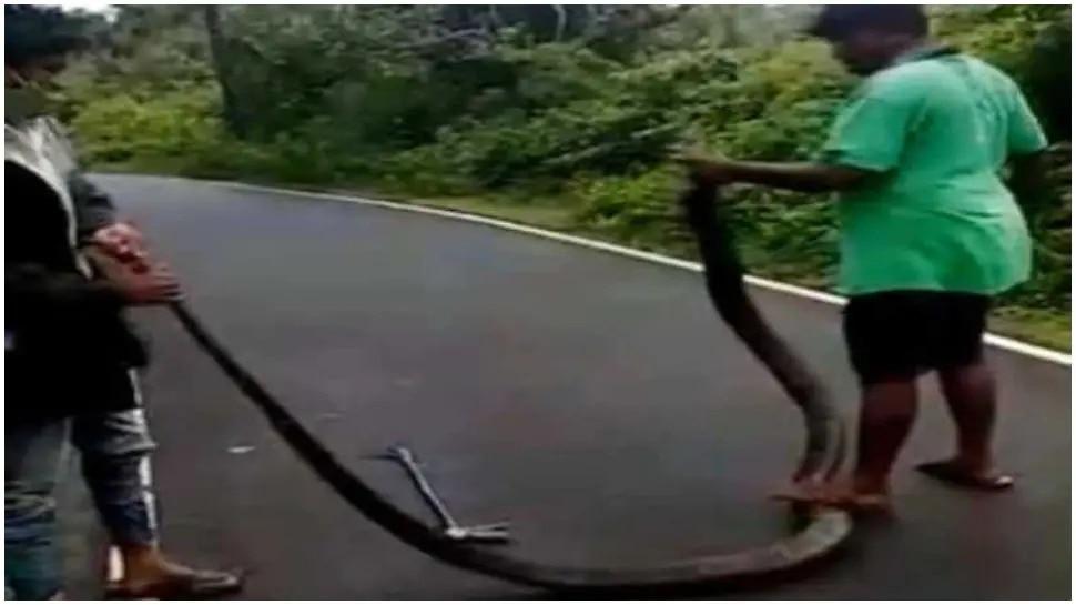 ଜଙ୍ଗଲରେ ସୁରକ୍ଷିତ ନୁହଁନ୍ତି King Cobra; ଦେଖନ୍ତୁ ଅବସ୍ଥା