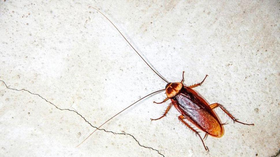 Kerosene oil is effective in getting rid of cockroaches