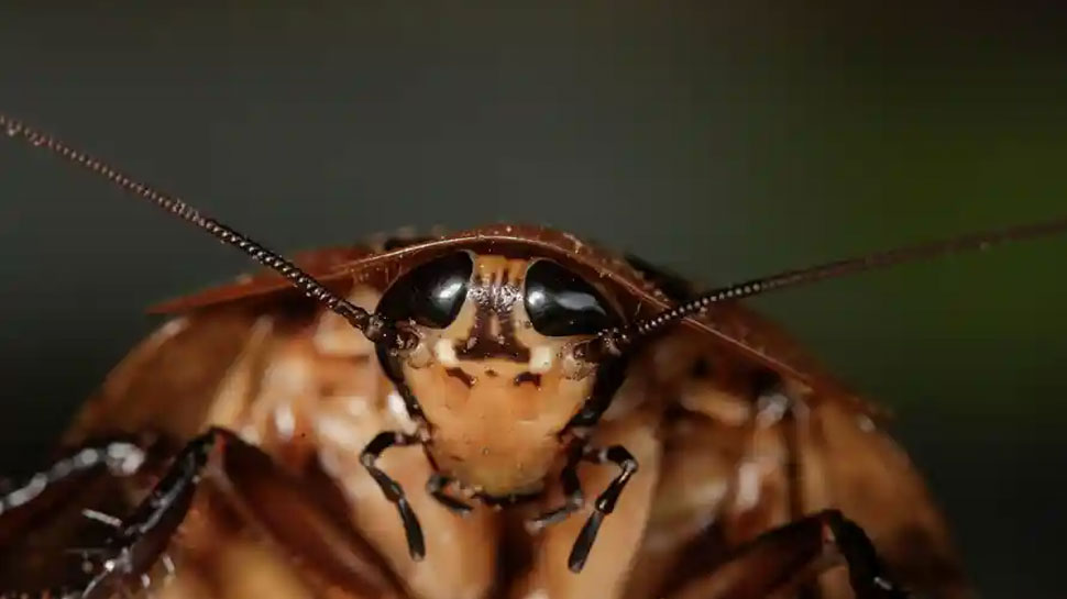 Cockroaches die by eating coffee grains