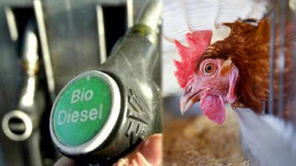 ମିଳିବ ମହଙ୍ଗା ମାଡ଼ରୁ ଆଶ୍ୱସ୍ତି ! କୁକୁଡ଼ାରୁ ହେବ Biodiesel