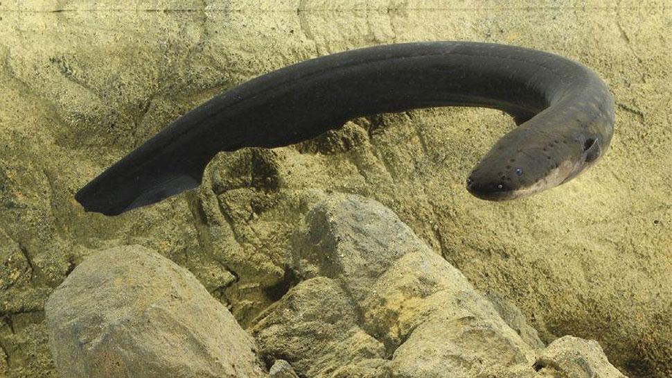 China: Private Part से होते हुए शख्स के पेट में चली गई 20 cm लंबी Eel Fish, कर रहा था ये काम