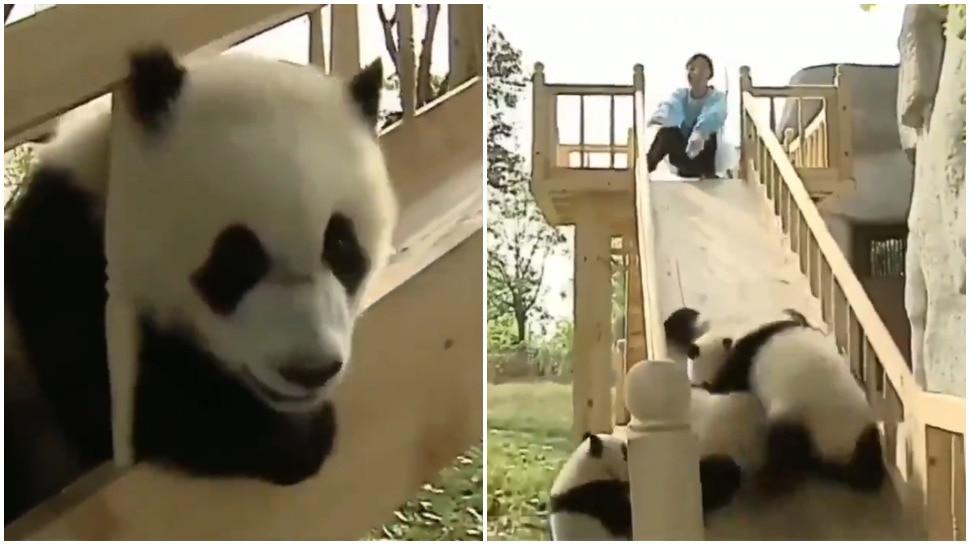 Panda Video: बच्चों की तरह मस्ती कर रहे थे पांडा, Slides से झूल कर हुए लोट-पोट